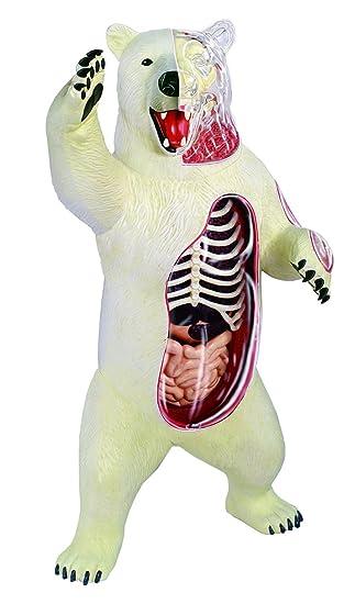 Esqueleto modelo Dentista dental del laboratorio del oso polar ...
