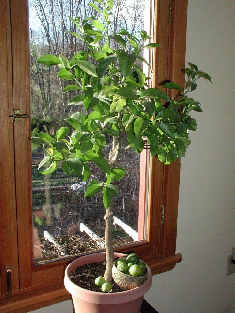 Key Lime Tree Seeds - Citrus Fruit - Medicinal Benefits - House Plant - 10 Seeds SVI
