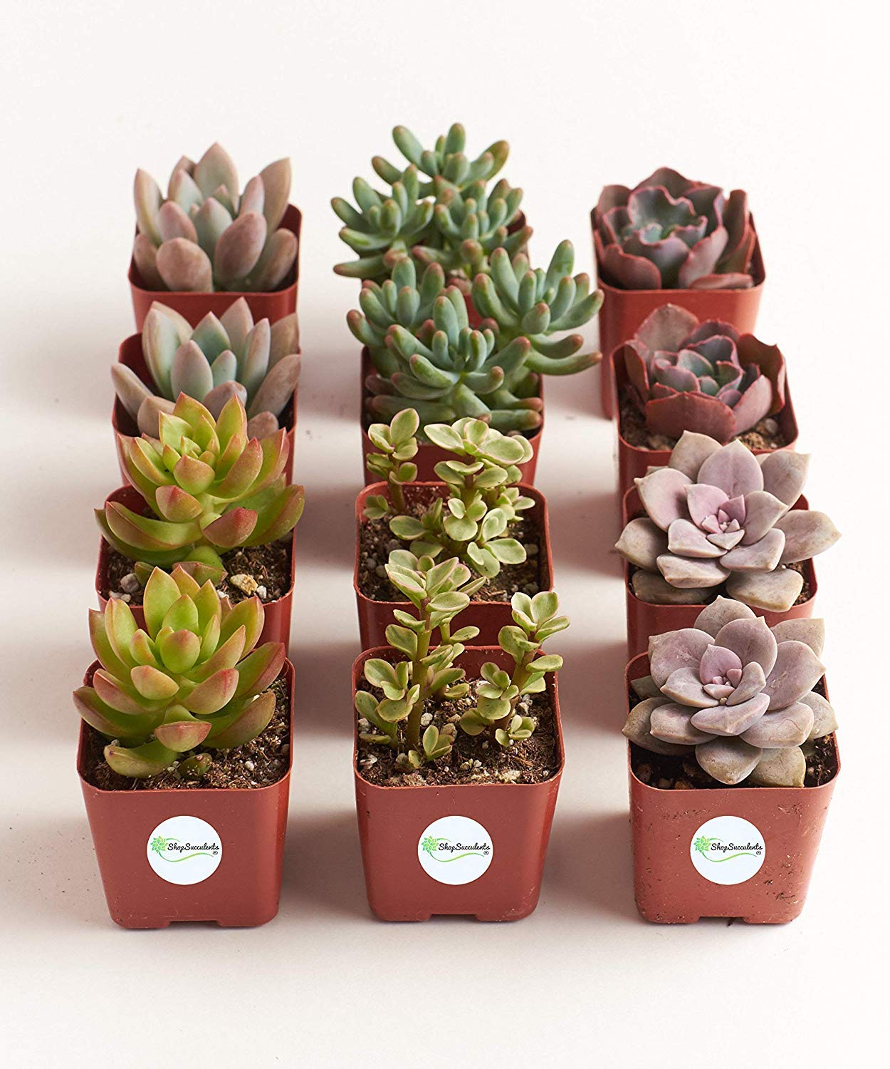 Shop Succulents  Premium Pastel Collection of LiveSucculent Plants, Hand Selected Variety Pack of Mini Succulents   Collection of 12 in 2'' pots by Shop Succulents (Image #4)