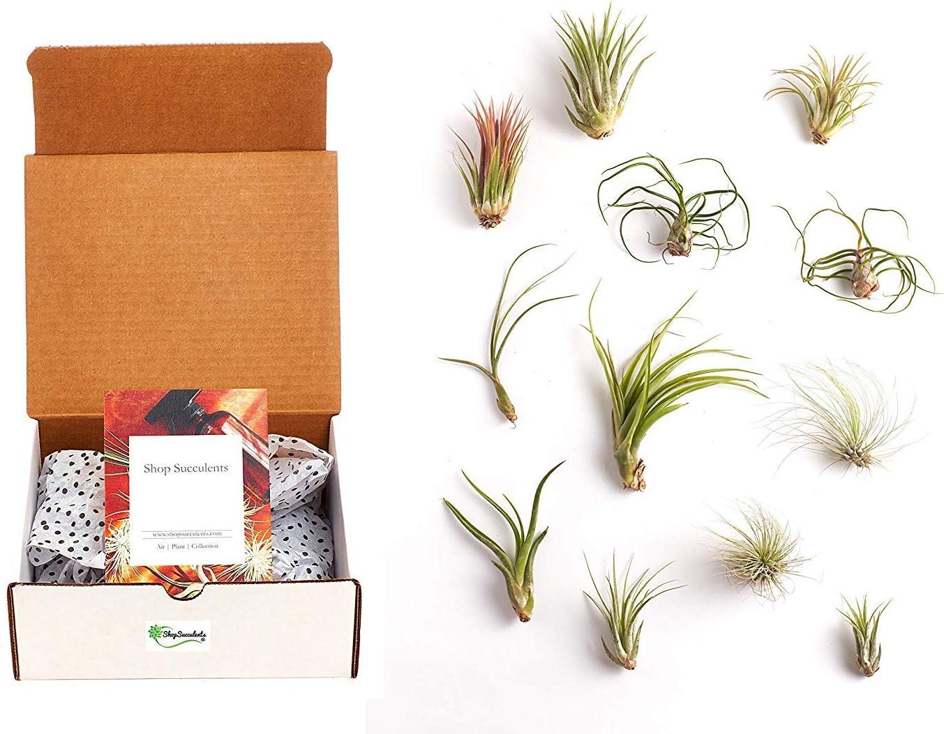 Shop Succulents Amber Spray Bottle Live Air Plant Variety Pack | Tillandsia Terrarium Kit, 12, Green