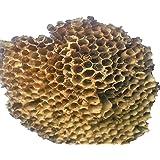 SNB Yellow Bee Nest Tataiya Chatta Bhirad Ka Chatta Hairfall Alopecia Treatment