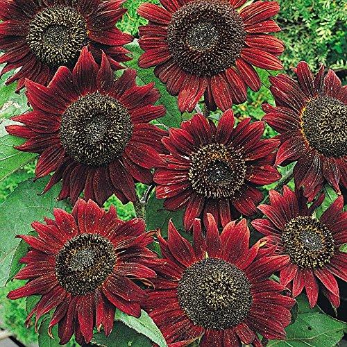 - Certified Organic Velvet Queen Sunflower Seed (25ct) 6 ft Tall USA Grown !