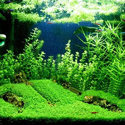 Aquarium Plants Seeds, Double Leaf Carpet Water Grass Green Aquatic, For Fish  Tank Rock