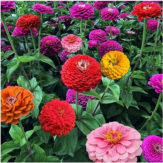 30 pedazos/bolso mezclaron el mini jardín de la semilla de flor del jardín de la semilla de Zinnia: Amazon.es: Jardín