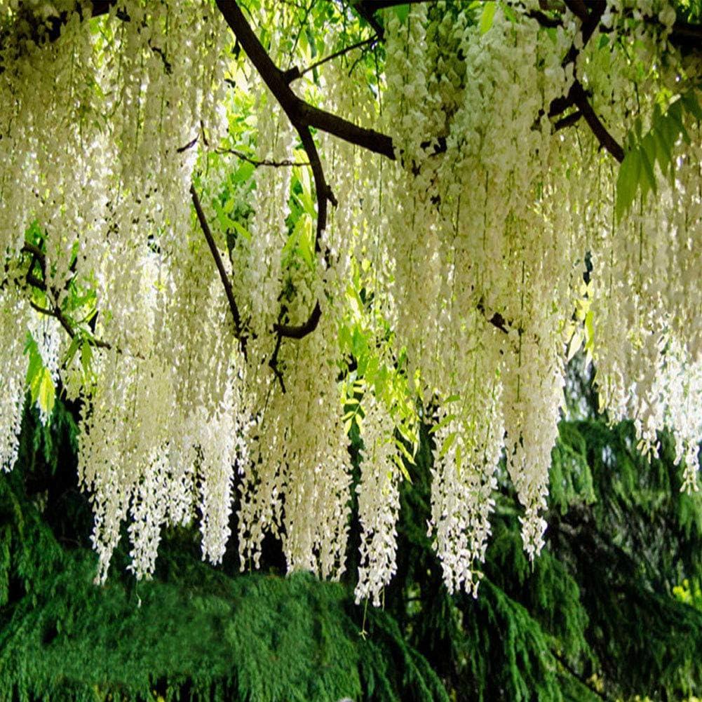 QHYDZ Seeds-20pcs Semillas de Flores de Glicina Wisteria Sinensis ...