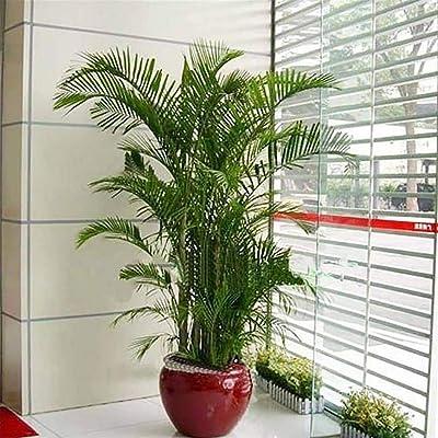 HOTUEEN 100pcs/ Bag Home Decor Indoor Plants Areca Butterfly Palm Seeds : Garden & Outdoor