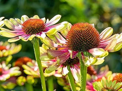 Amazon.com: Echinacea - Flores de bicolor, 10 semillas ...
