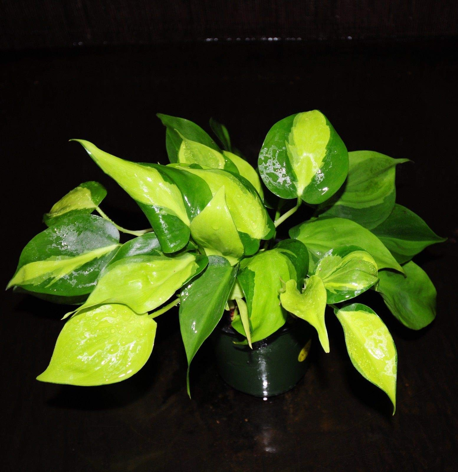 Gorgeous Philodendron Brasil Easy Tropical Houseplant Full Large 4'' Pot (Premium Quality) by AY-Premium