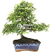 Bonsai - Olmo chino, 8 Años (Bonsai Sei - Zelkova Parvifolia)