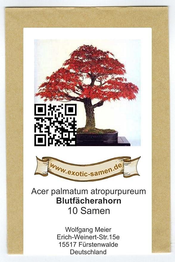 Blutfächerahorn Acer palmatum atropurpureum 10 Samen