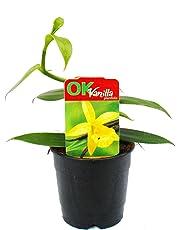Véritable vanillier, Vanilla planifolia - orchidée grimpante en pot de 12cm