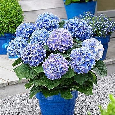discountstore145 20Pcs Hydrangea Seeds Flower Plant Home Office Ornament Garden Pot Bonsai Decor - Blue Hydrangea Seeds : Garden & Outdoor