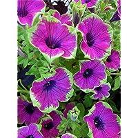 100 Semilla de 9 colores calibrachoa Orgánica Petunia semillas mezcladas 'petunia del jardín' Muy hermoso de la flor de…