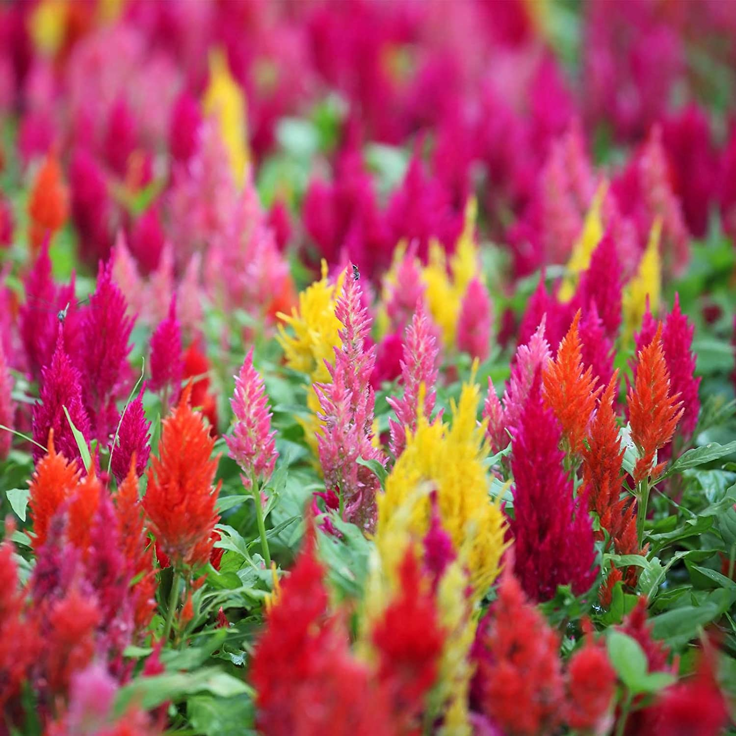 Plumed Castle Celosia Seeds - 1000 Seeds - Multi Color Mix - Annual Flower Gardening Seeds - Celosia plumosa