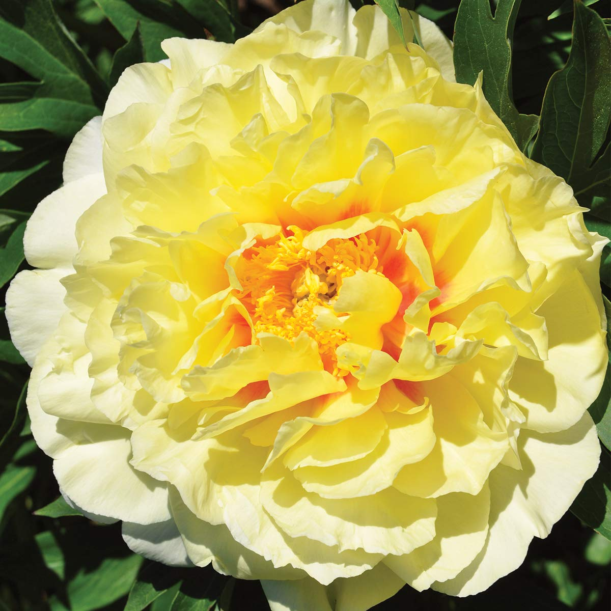 Burpee 'Bartzella' Itoh Perennial Peony - 1 Bare Root 3-5 Eye Plant