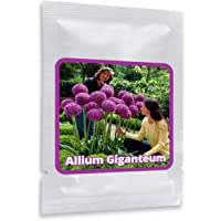 Allium giganteum 30 Graines - Ail d'ornement géant - violette - Belle Graines de fleurs