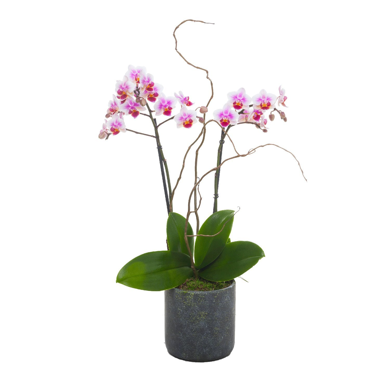 Living Phalaenopsis in Patina Ceramic pot - Petite Light Pink Blooms