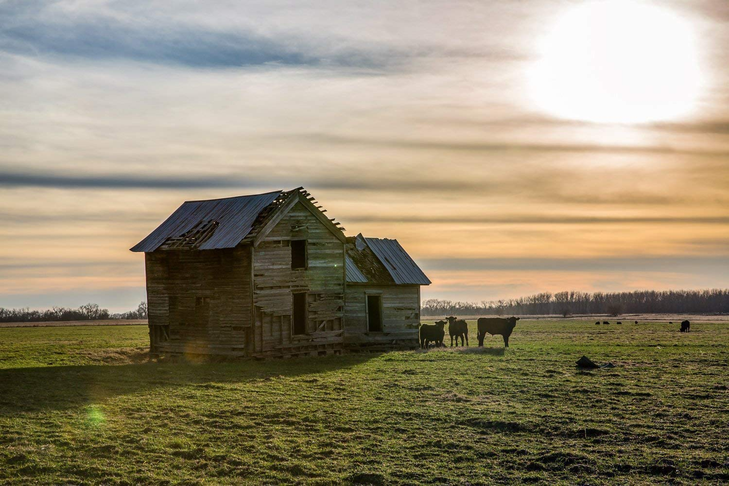Rustic Country Photography Art Print - Picture of Old House in Field with Cows Standing Guard Vintage Style Decor Artwork for Home Decoration 5x7 to 30x45