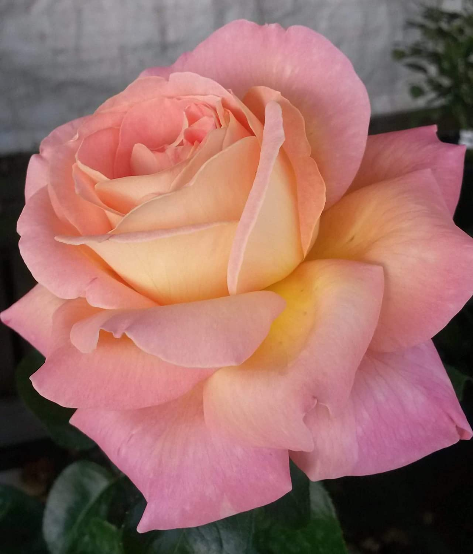 Gowlers plants Chicago peace hybrid tea rose bush bare root PRE ORDER