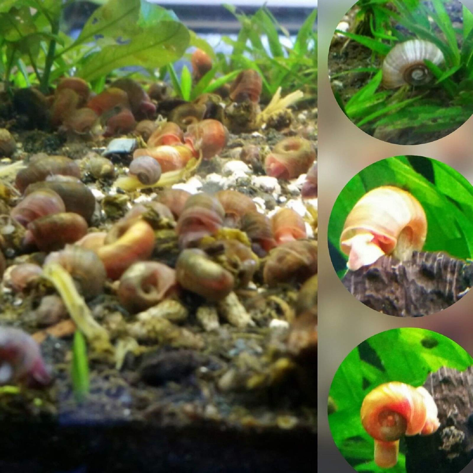 Polar Bear's Pet Shop HOT! 50 Assorted ramshorn Snails (Read Item Description) Feeder Snail, Puffer Loach