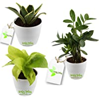 Leafy Tales Air Purifying Oxygen Giving in Night Plant Combo Set of 3 Plants (ZZ Zamioculcas Zamifolia Plant, Sansevieria Snake Plant, Golden Money Plant)