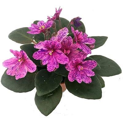 "Miniature African Violet 1 Plant/2"" Pot Terrariums/Fairy Gardens - HGarden365 : Garden & Outdoor"