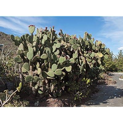 Opuntia streptacantha Cactus Seeds (100 Seeds) : Garden & Outdoor