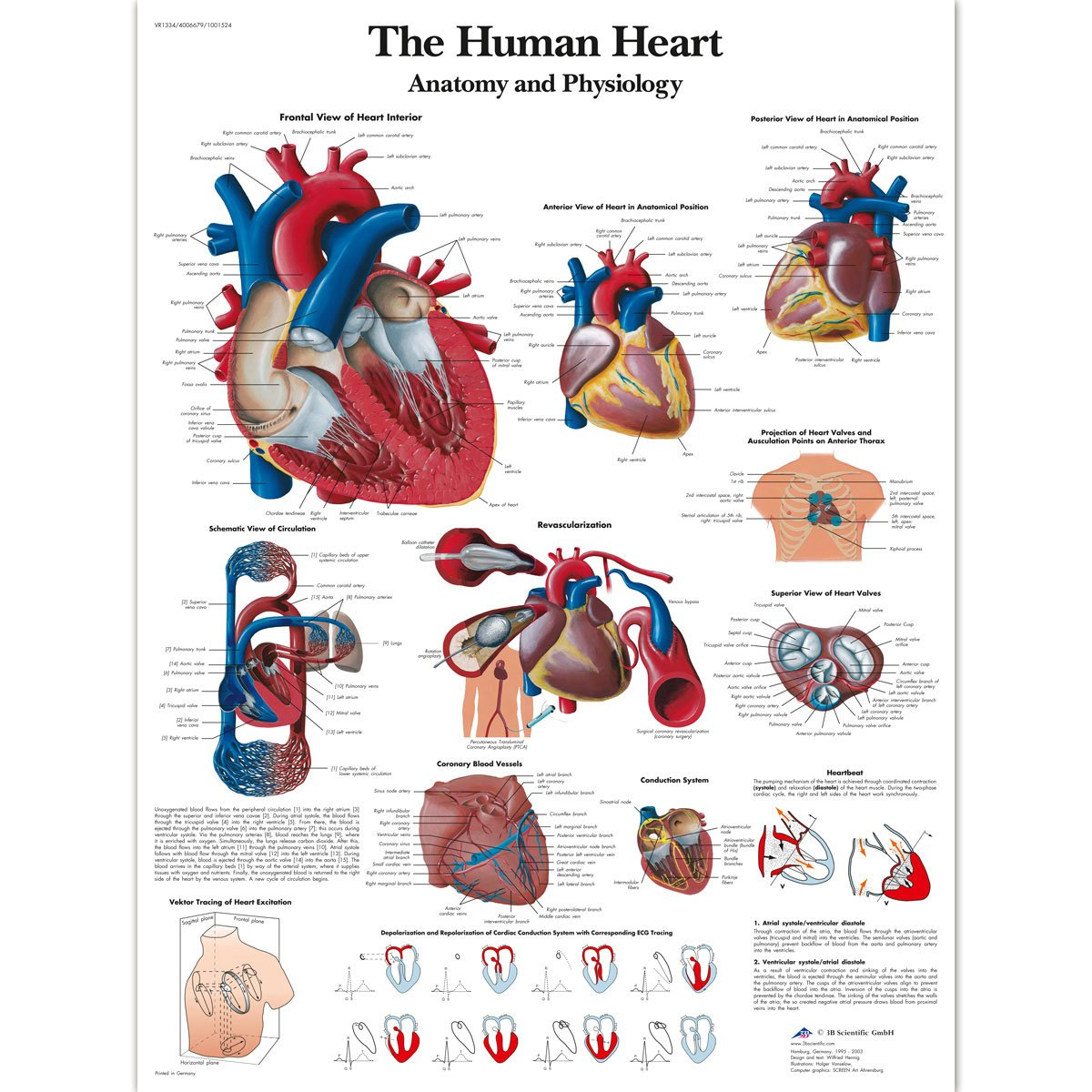 3B Scientific VR1334L Glossy Laminated Paper Human Heart Anatomy and Physiology Chart, Poster Size 20-Inch Widthx26-Inch Height 1001524