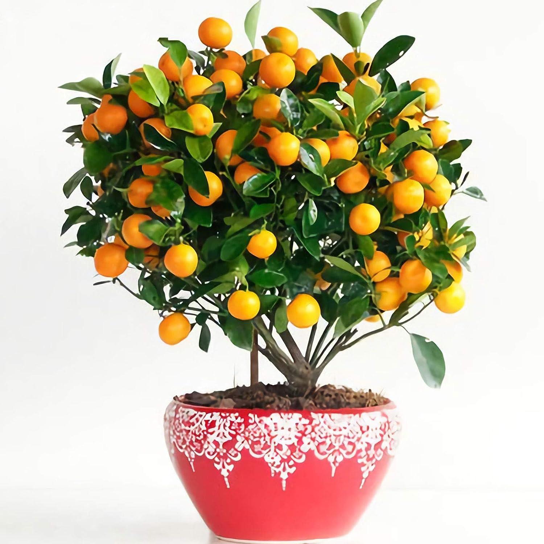 30 Pcs Seeds Bonsai Orange Tree Seeds   Non-GMO   Edible Fresh Garden Fruit Seeds , Seeds, Gardeners Choice!
