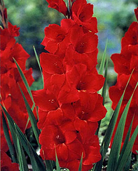 GLADIOLUS, BULB (20 PACK) RED SENSATION, STUNNING RED PERENNIAL GLADIOLUS  BULBS,
