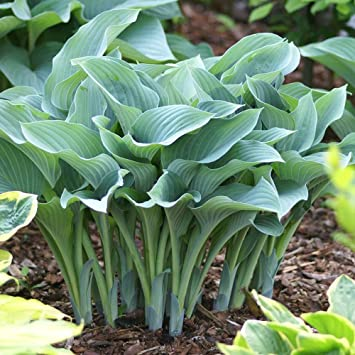 Plantain Lily Hosta Krossa Regal 1 Plant Amazoncouk Garden