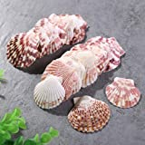 Scallop Shell Natural Seashell from Sea Beach for DIY Craft Decor 1 Box ( 50 pcs)