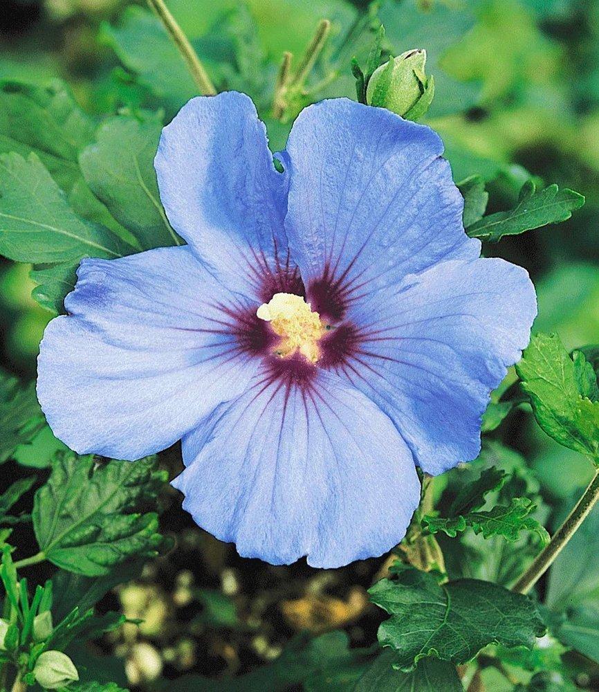 BALDUR Garten Winterharte Hibiskus Hecke 10 Pflanzen Hibiscus