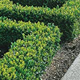Box Hedging Plants 20-40cm Buxus Sempervirens Dense Evergreen Hedge Potted (100 Plants)