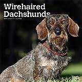 Wirehaired Dachshunds - Rauhhaardackel 2020 - 18-Monatskalender mit freier DogDays-App: Original BrownTrout-Kalender [Mehrsprachig] [Kalender]