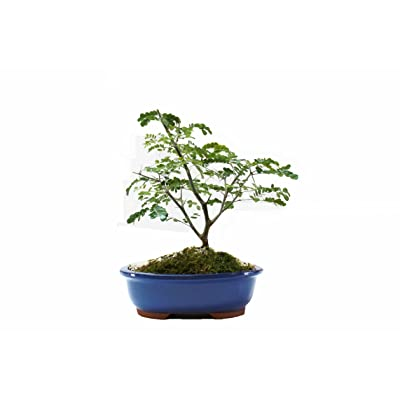 Indoorbonsaiandexotics Brazilian Raintree Bonsai: Garden & Outdoor