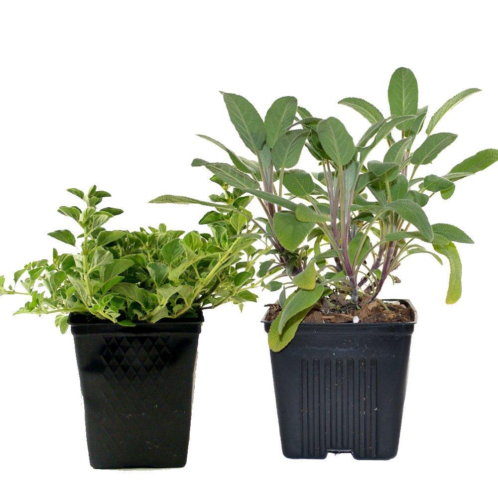 Sage & Oregano Plants Set of 2 Organic Non GMO Stargazer Perennials
