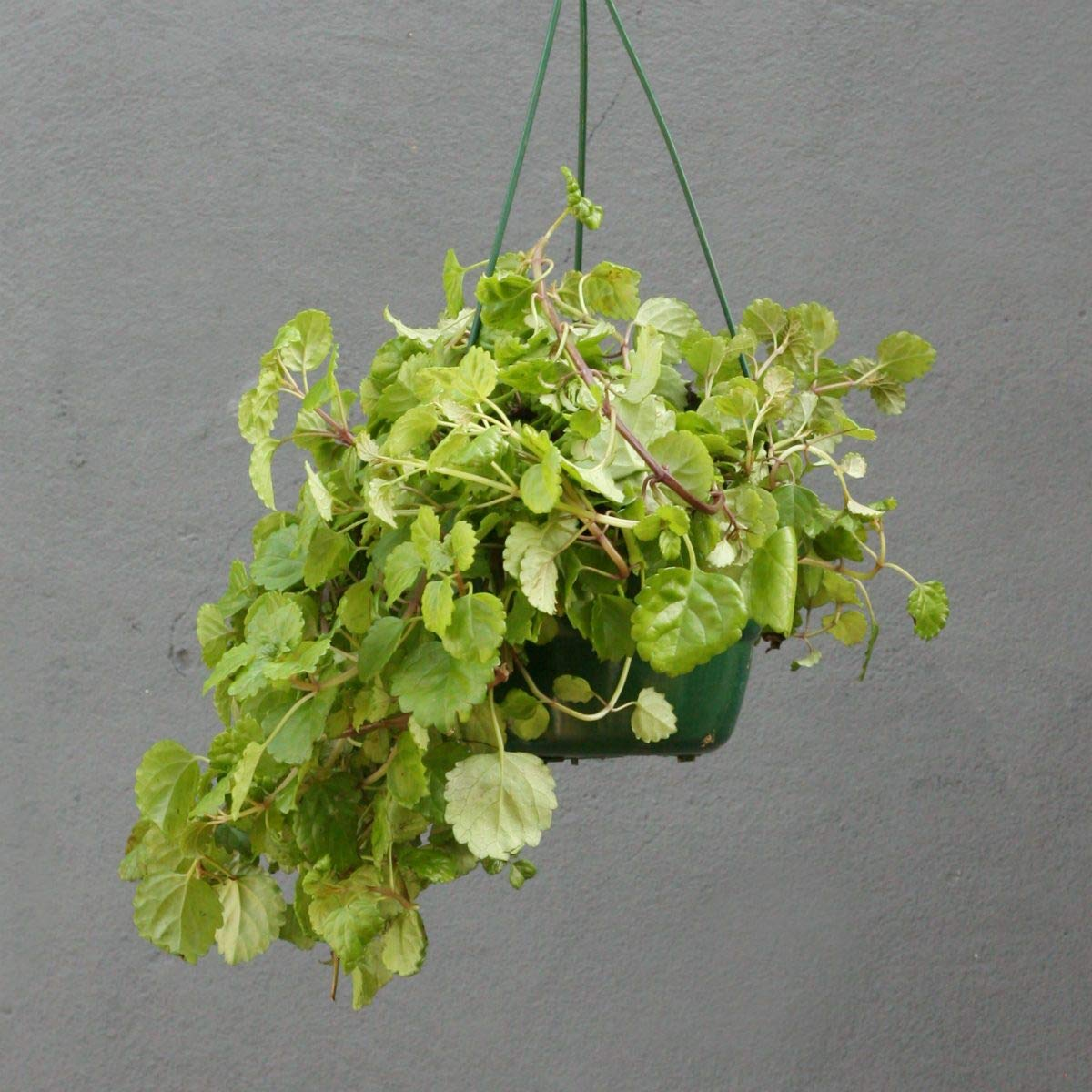 "Picture of Live Creeping Charlie aka Glechoma hederacea Hanging Foliage Plant Fit 4"" Pot"