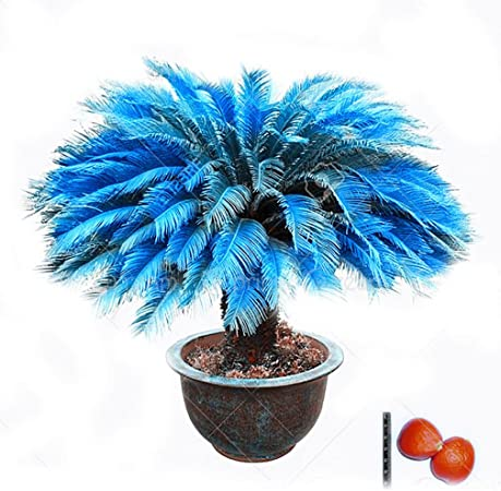 Seed Blue Cycas Mini Seed Flower Budding Rate 97/% Rare Potted Plant For Garden