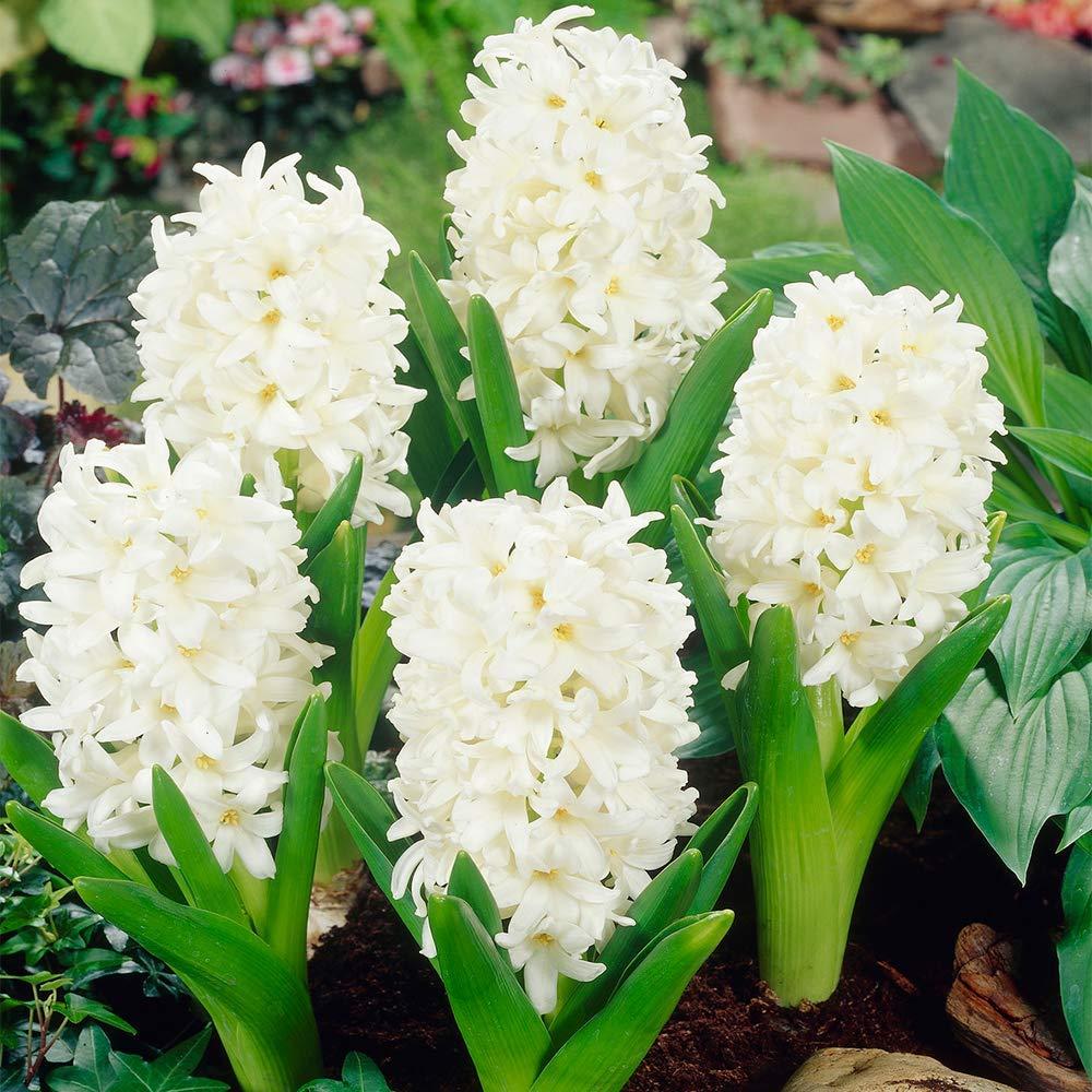 Hyacinth Carnegie Outdoor Bulbs Early Spring Large White Flowering Garden Bulb 5 Bulbs