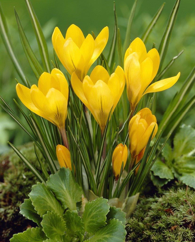 Bloomsz Crocus Bulbs Yellow Mammoth Flower Bulb (20-Pack)