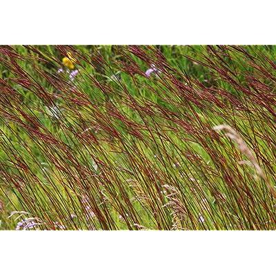 1 OZ Fresh Seeds American Native Big Bluestem Prairie Grass - CBR163 : Garden & Outdoor