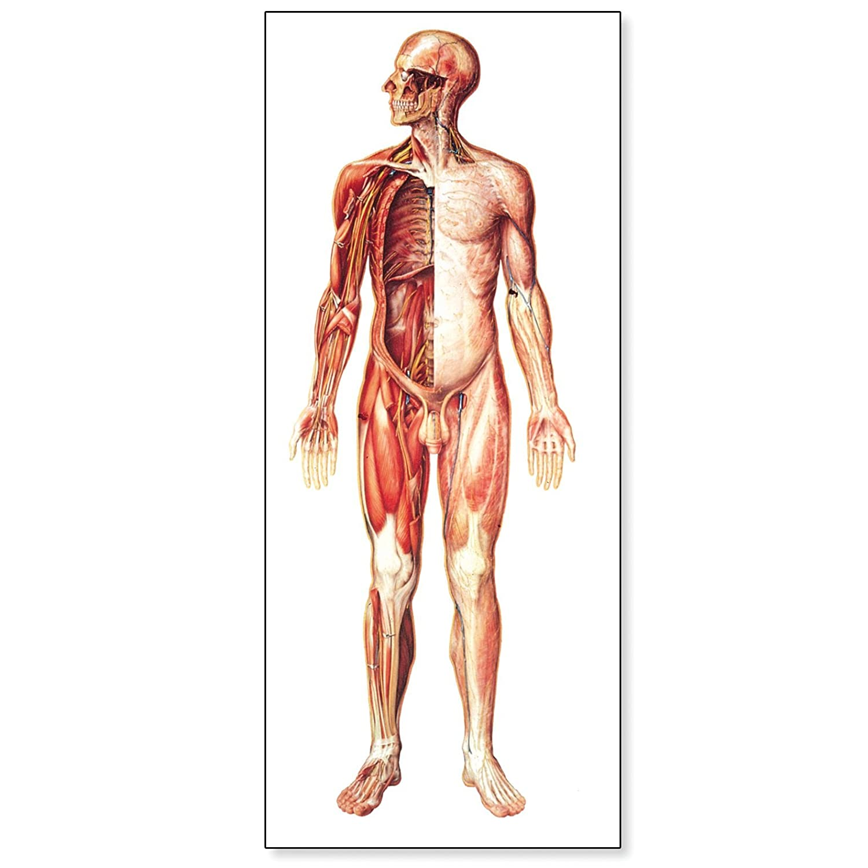Amazon 3b Scientific V2037m The Nervous System Anatomical