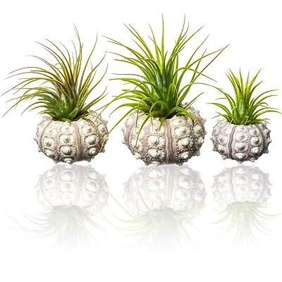 Sputnik Urchin Air Plant | Purple Sputnik Urchins and Tillandsia Gift Set | Nautical Crush TM (3 Pack): Garden & Outdoor