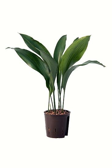 Zimmerpflanzen b ropflanzen und hydrokultur online kaufen - Asiatische zimmerpflanzen ...