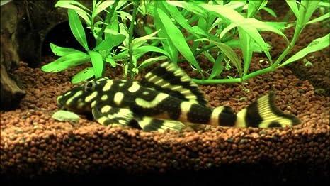 Amazon Com Worldwidetropicals Live Freshwater Aquarium Fish 3 4