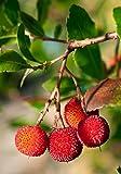 Palmenmann Erdbeerbaum (Rubra) - Arbutus unedo Rubra