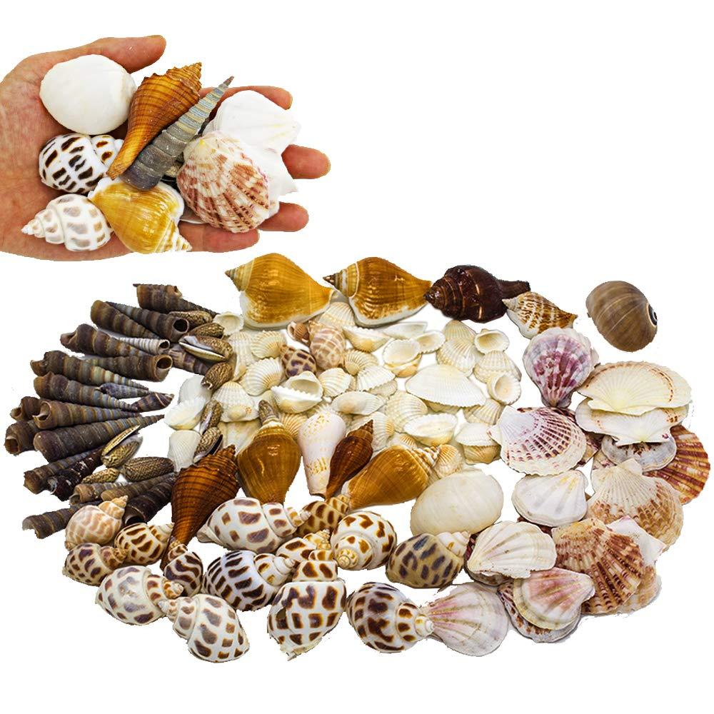 Sea Shells Mixed Beach Seashells, Natural Colorful Assorted Sea Shells for Crafts and Home Decorations (100 Seashells) Hukidoy