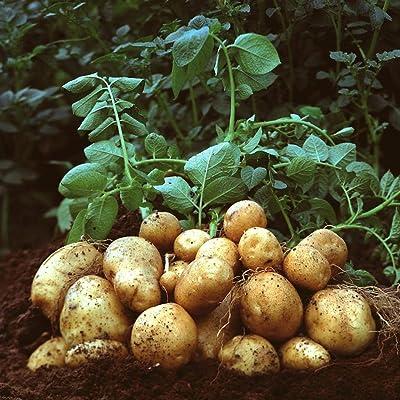 Oguine 50pcs Potato Seeds Plants Perennials Planting Vegetables Home Garden Bonsai Flowers : Garden & Outdoor