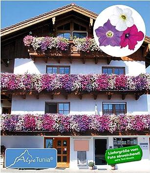 Baldur Garten Hange Petunien Alpetunia Mix 3 Pflanzen Petunia
